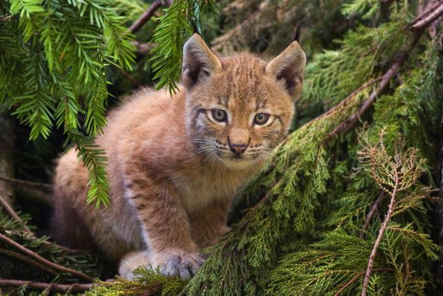 Cría de lince europeo (Lynx linx)